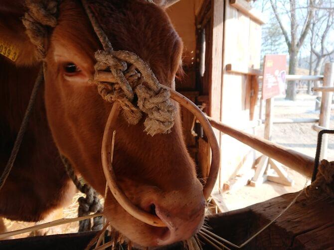 韓国民俗村の牛