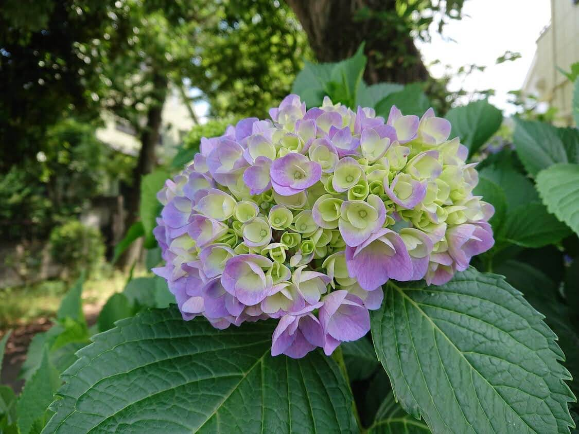 紫陽花の季節の思い出