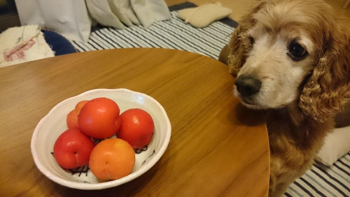 ミニトマトとすもも